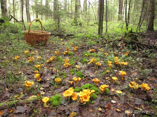 Как растут лисички в лесу
